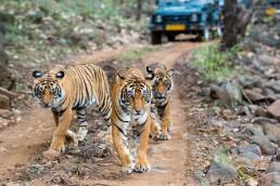 Safari de tigres en India
